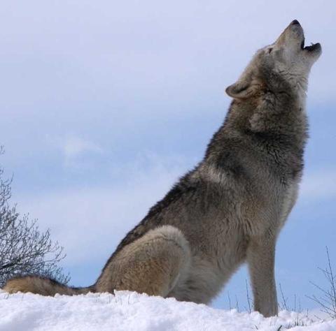 Wolf rufend